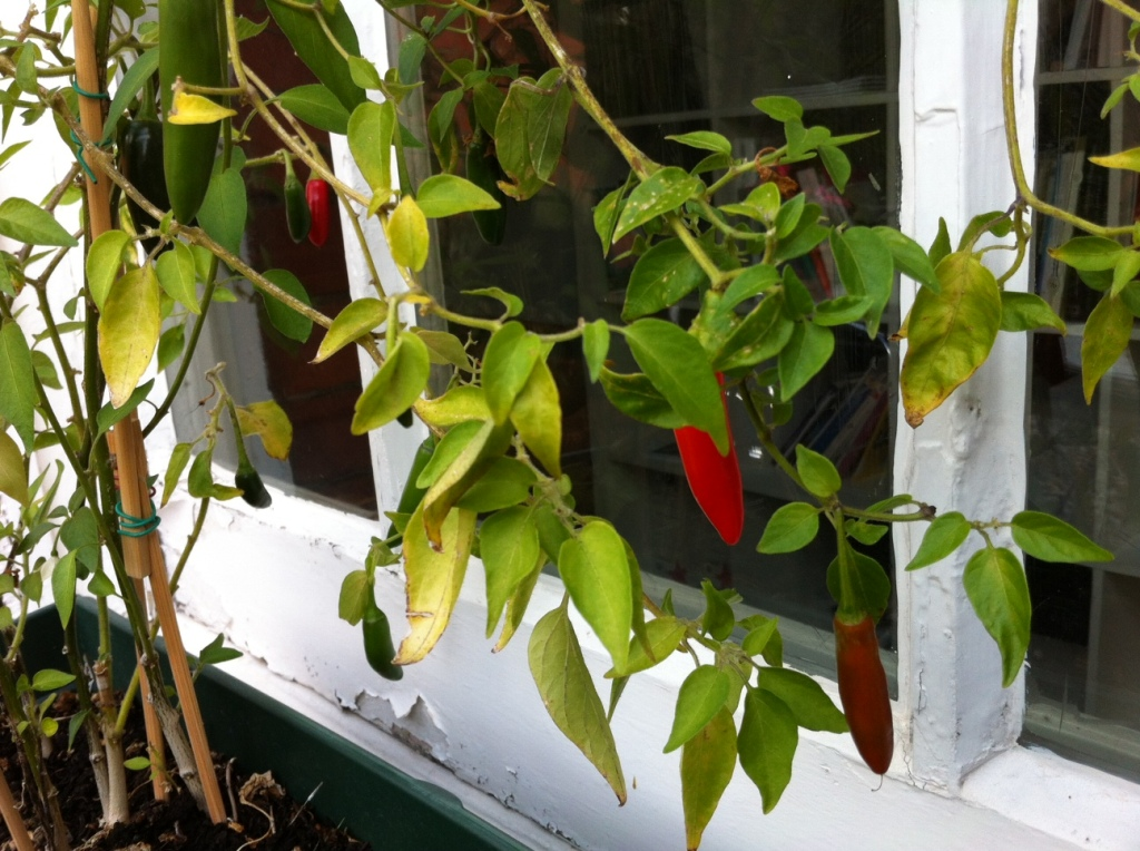 Today's chilli report: 2x ripe, 1x ripening, 14x not there yet.
